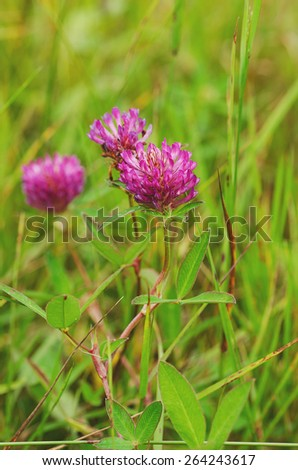 Pink clover flowers in spring, shallow depth of field - stock photo