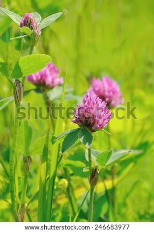 Pink clover flowers on meadow, selective focus - stock photo