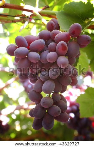 pink cluster of grapes to eat dessert - stock photo