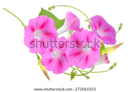 Pink Colored Morning Glory Flowers Isolated on White Background - stock photo