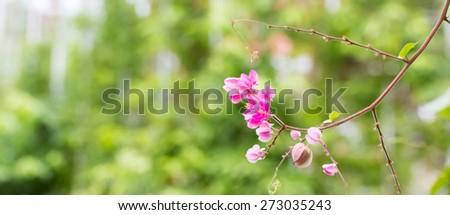 Pink Confederate vine blooming in the garden; Coral vine; Mexican coral vine; Mexican creeper; Queen's jewels; Queen's wreath - stock photo