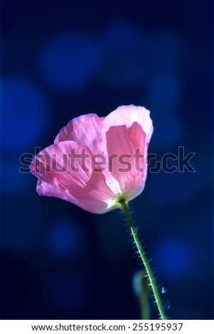 Pink corn poppy on dark-blue background - stock photo