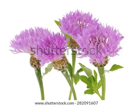 Pink Cornflower - Centaurea on a white background      - stock photo