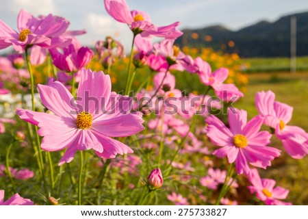 Pink cosmos flower family fompositae, cosmos flower in field - stock photo