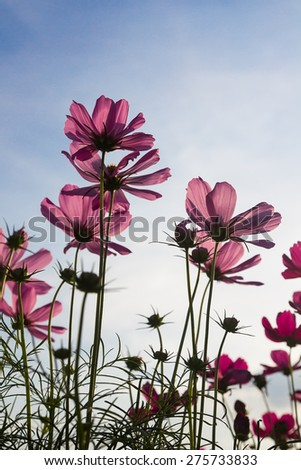 Pink Cosmos flower family fompositae in garden - stock photo