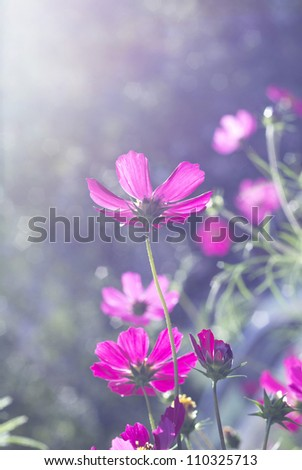 pink cosmos flowers on sunlight in the garden - stock photo