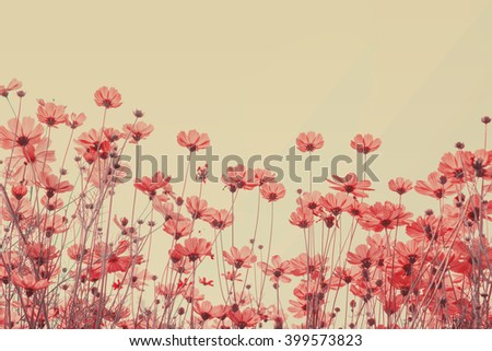 Pink cosmos flowers on white background - stock photo