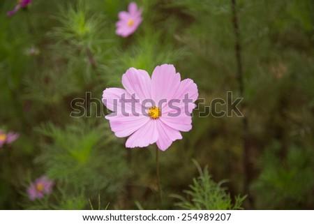 Pink cosmos flowers, shallow DOF - stock photo