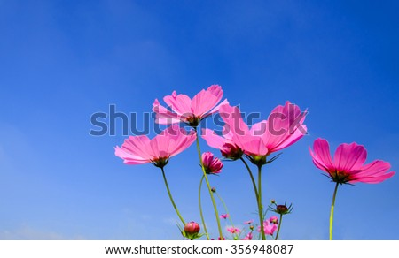 pink cosmos flowers with blue sky and cloud background, with copy space - stock photo