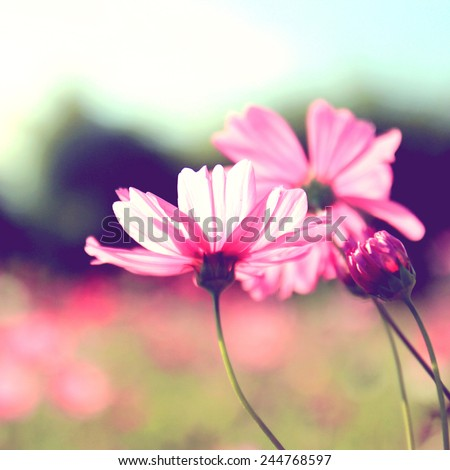 Pink cosmos flowers with retro filter effect - stock photo