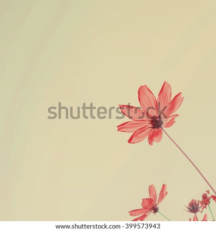 Pink cosmos flowers with sky  ,in morning - stock photo