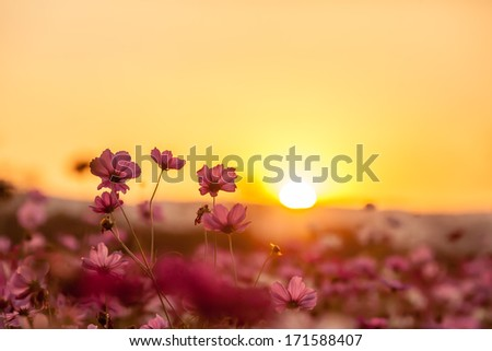 Pink cosmos on field in sunset time - stock photo