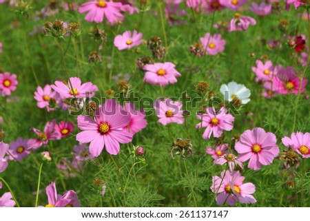 Pink Cosmos sulfur flower field in the morning - stock photo