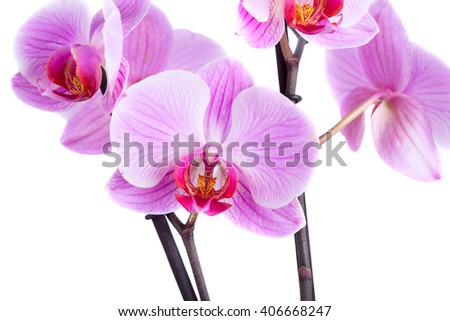 Pink cultivated orchid isolated over white background - stock photo