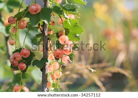 Pink currants in garden - stock photo