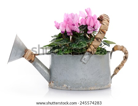 pink cyclamens - stock photo