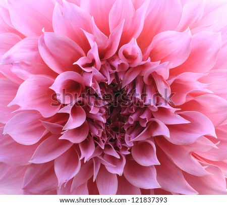 pink dahlia flower background - stock photo