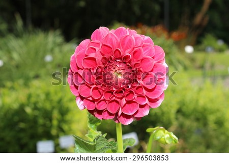 """Pink """"Dahlia"""" flower in Innsbruck, Austria. Dahlias are native to Mexico and declared the national flower of Mexico in 1963. - stock photo"""