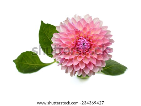 Pink dahlia flower isolated on white background  - stock photo