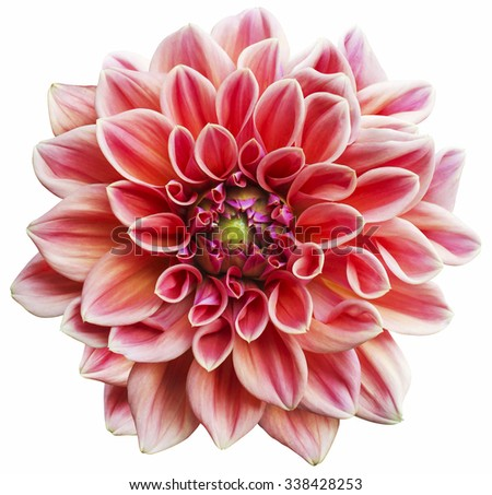 Pink dahlia Flower Isolated on White Background - stock photo
