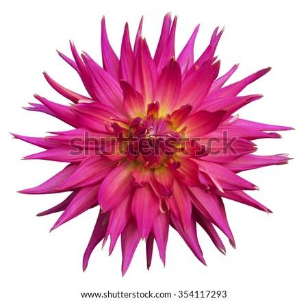 Pink Dahlia flower Isolated on White Background. Beautiful Pink dahlia Flower - stock photo
