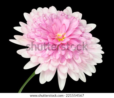 Pink Dahlia Flower with large center and green stick  Isolated on Black background - stock photo