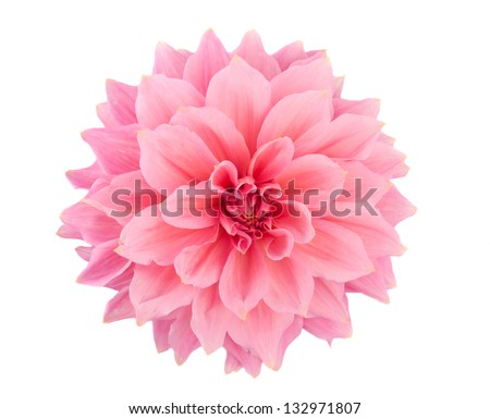 pink dahlia isolated on white background - stock photo