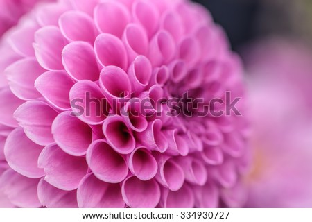 Pink dahlia petals macro, floral abstract background. Shallow DOF. - stock photo