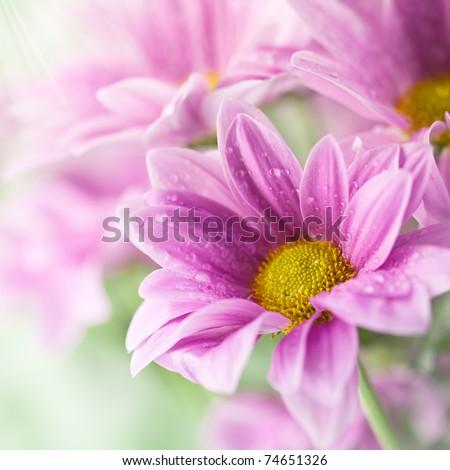 Pink daisies closeup - stock photo