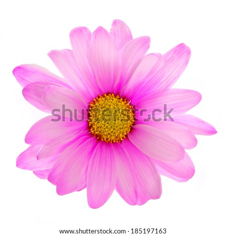 Pink daisy flower isolated on white - stock photo
