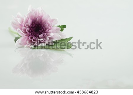 pink daisy flower purple daisy flower white daisy flower on isolate background text word on background ear daisy flower beautiful lovely daisy / pink daisy flower purple daisy flower - stock photo