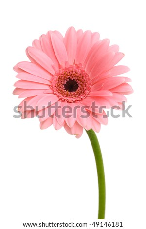 Pink daisy flower with stem isolated on white background - stock photo