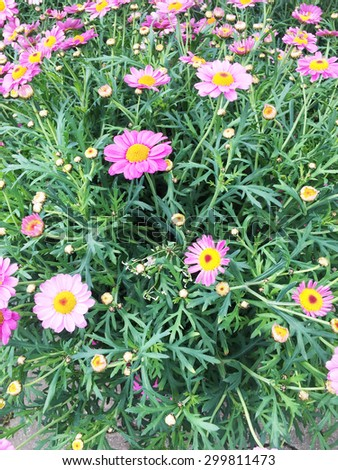 Pink daisy flowers background. Camomile flowers - stock photo