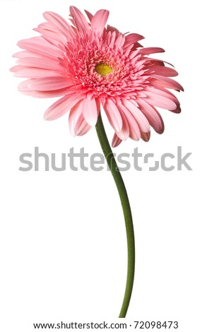 pink daisy isolated on a pure white background - stock photo