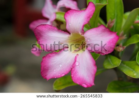 Pink Desert Rose flower with dew - stock photo