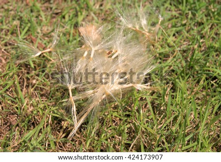 Pink Desert Rose or Impala Lily seed on grass field - stock photo