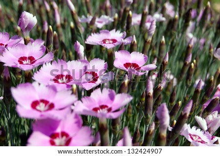 Pink dianthus blooms in the spring. - stock photo