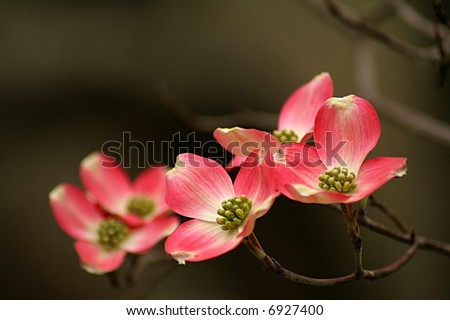 pink Dogwood blooms with shallow depth of field and space for text. - stock photo