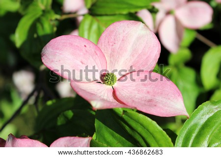 Pink dogwood tree petals with green leaves, located in botanical garden - stock photo