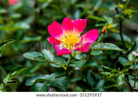 Pink Drift Rose or Pink Rose in Garden, Thailand. - stock photo