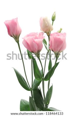 Pink Eustoma isolated on white background - stock photo