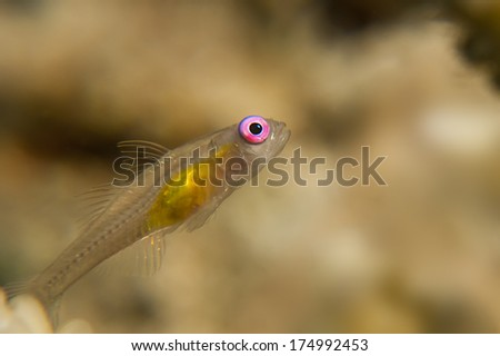 Pink eye goby in the Red Sea - stock photo