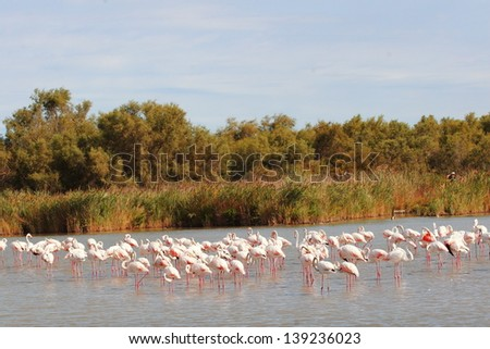 pink flamingo camargue france waterfowl - stock photo