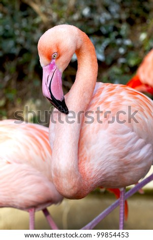 Pink flamingo in a zoo - stock photo