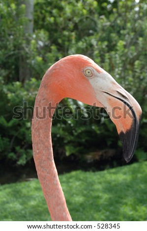 Pink flamingo in Profile - stock photo