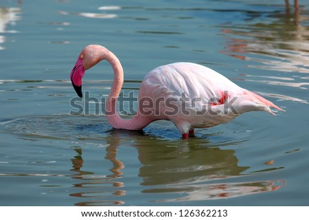 Pink Flamingo in the water - stock photo