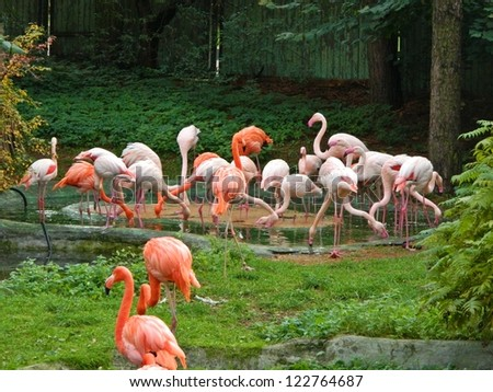Pink flamingos against green background in Riga zoological garden - stock photo