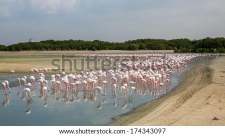 Pink flamingos in the lagoon Ras al Khor - stock photo