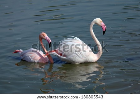 Pink Flamingos in the water - stock photo