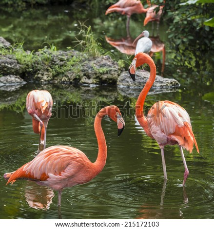Pink Flamingos or Flamingoes  the only genus in the family Phoenicopteridae - stock photo